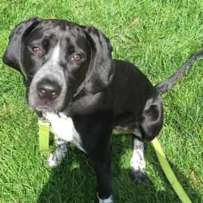 Ivy, 17-mo. old hound puppy